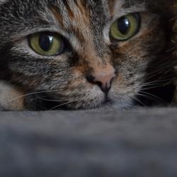 Il diabete nel gatto