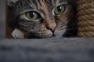 diabete felino