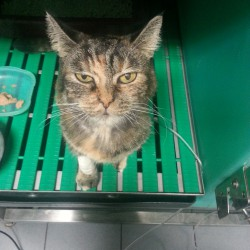 Una storia di diabete felino: la storia di Cleo