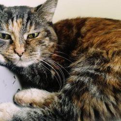 Aspettativa di vita di un gatto diabetico