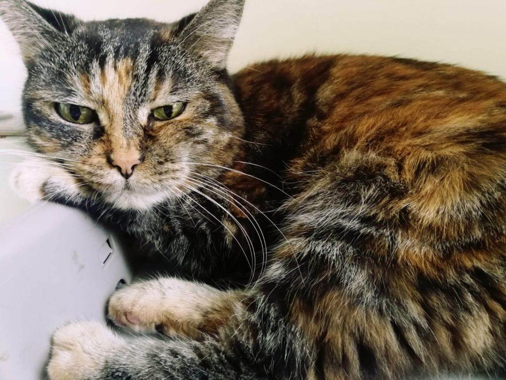Quanto vive un gatto con il diabete?